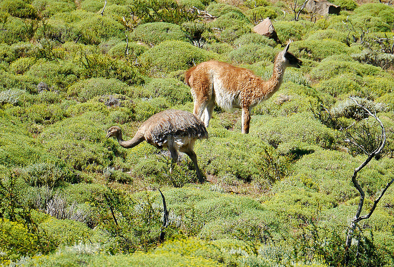 OAT Patagonia trip, Dec 2013.<br /> After departing Torres Del Paine National Park in Chile, we see, from the bus, <br /> a Choique grazing with some Guanacos.