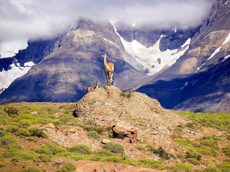 OAT Patagonia trip, Dec 2013.<br /> Torres Del Paine National Park, Chile. Guanacos.