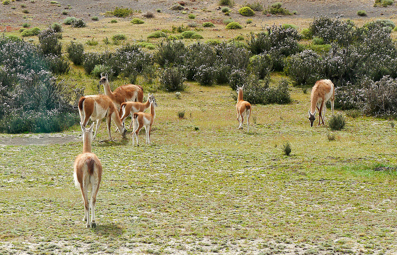 OAT Patagonia trip, Dec 2013.<br /> Near Torres Del Paine National Park, Chile.  From the bus, we see some Guanacos alongside the road.
