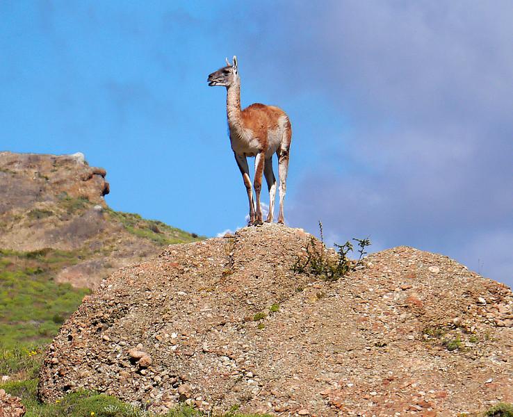 OAT Patagonia trip, Dec 2013.<br /> Torres Del Paine National Park, Chile. Guanacos.