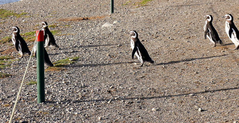 OAT Patagonia trip, Dec 2013.<br /> This portion of the tour took place on the Via Australis boat.<br /> Magdalena Island.  Penguins!