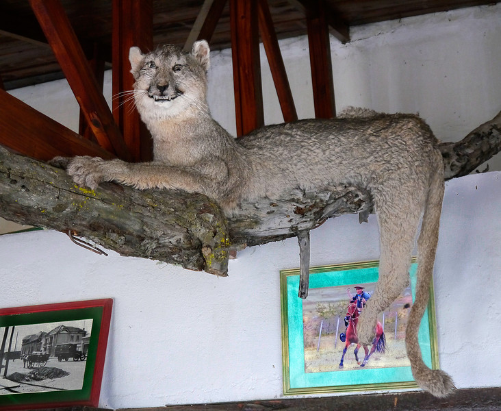 "OAT Patagonia trip, Dec 2013.<br /> We take the scenic route, on an unpaved road, enroute from El Calafate to the Perito Moreno Glacier, Argentina.  We stop at a rather isolated ""Roadhouse"" for refreshments.  A stuffed Patagonian Cat."