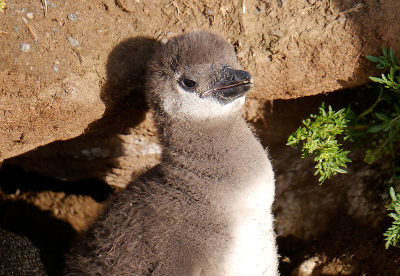 OAT Patagonia trip, Dec 2013.<br /> This portion of the tour took place on the Via Australis boat.<br /> Magdalena Island.  A baby Penguin!