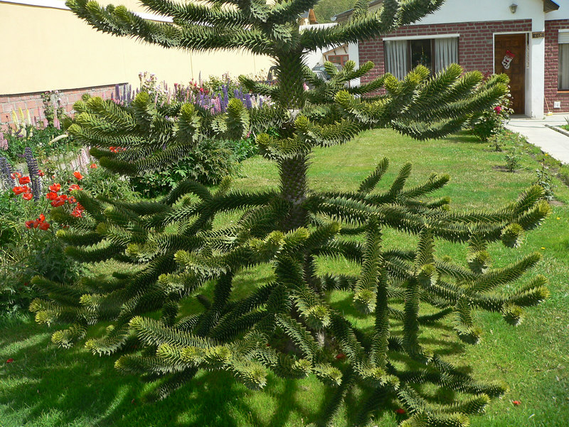 Some of the houses in El Calafate were beautifully kept. Here is a monkey puzzle tree.