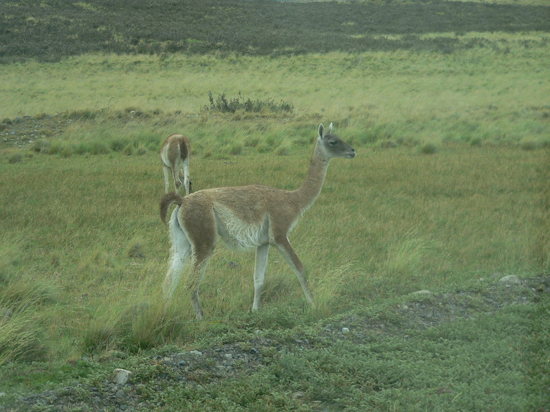 Guanaco -- relative of the Llama and the camel