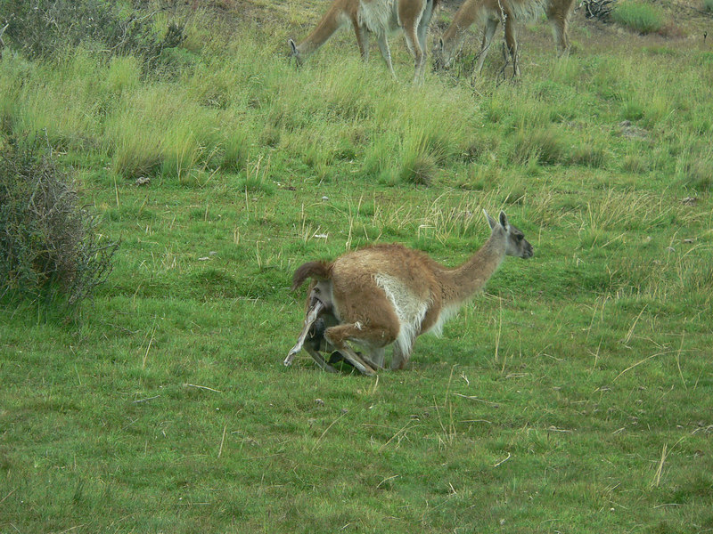 Guanaco giving birth