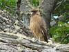 An adolescent falcon
