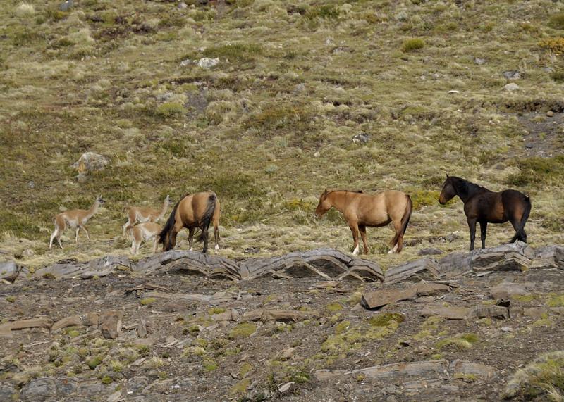 Estancia Cristina, alpaca and wild horses, Southern Patagonia