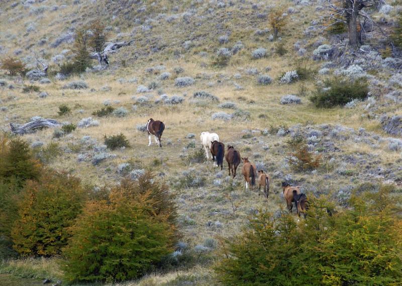 Estancia Cristina, wild horses, Southern Patagonia