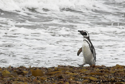 Magellanic penguin at the Seno Otway penguin colony, Punta Arenas, Chile