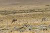 Darwin's Rheas in Patagonia