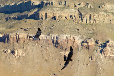 Two falcons practicing flight maneuvers in the stiff wind over Laguna Nimez Nature Rserve in El Calafate, Patagonia, Argentina