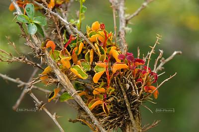 Parasitic flower, Patagonia, Argentina