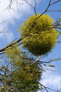 Patagonian Mistletoe