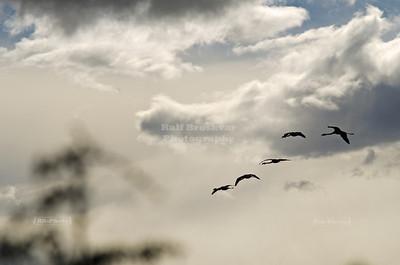 Flamingos arriving at the Laguna Nimez in El Calafate, Patagonia, Argentina