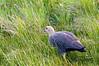 A female Magellan or Upland Goose (Chloephaga picta) in the grassland of the Laguna Nimiz Nature Reserve in El Calafate, Santa Cruz, Patagonia, Argentina