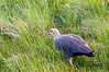 A female Magellan or Upland Goose (Chloephaga picta) in the grassland of the Laguna Nimiz Nature Reserve in El Calafate, Santa Cruz, Patagonia, Argentina
