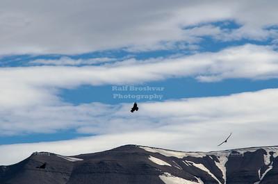 Andean Condors in Torres del Paine
