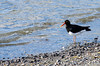 Magellanic Oystercatcher (Haematopus leucopodus) at the shore of the Last Hope Sound (Seno Ultima Esperanza) in Puerto Natales, southern Patagonia, Chile