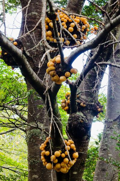 Darwin's Fungus or Indian Bread (Cyttaria darwinii)