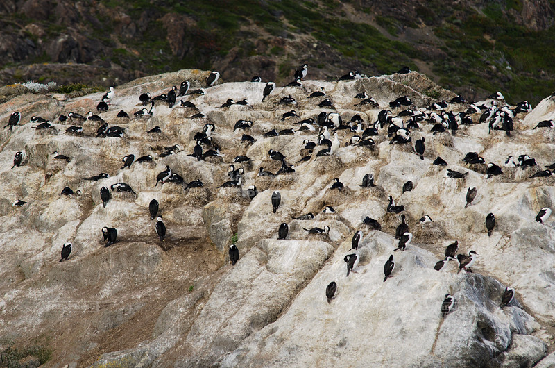 Cormorants in Last Hope Sound