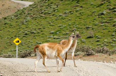 Two Guanacos (Lama guanicoe) crossing the road in Torres del Paine National Park, Patagonia, Chile