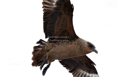 An aggressive Chilean Skua (Stercorarius chilensis), a predatory seabird almost the size of an Albatross