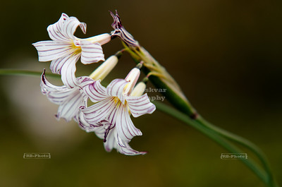 Little white orchid flower in southern Patagonia, Argentina
