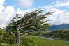 """Wind-bent """"flag tree"""" on a small hill overlooking a river valley in Fireland (Tierra Del Fuego), Patagonia, Argentina"""