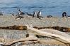 Magellanic Penguins in southern Patagonia