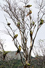 Noisy bunch - a flock of Austral Parakeets invaded a tree in Tierra del Fuego National Park, south Patagonia, Argentina