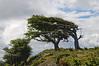 Wind-bent flag tree in Fireland (Tierra Del Fuego), Patagonia, Argentina