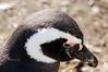 Magellanic Penguins (Spheniscus magellanicus) in Southern Patagonia