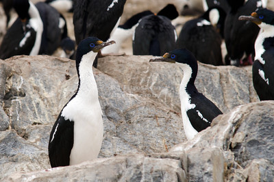 Imperial Shag, also known as blue-eyed Cormorants made a little islet in the Beagle Channel near the City of Ushuaia their breeding place. Tierra Del Fuego, Patagonia, Argentina