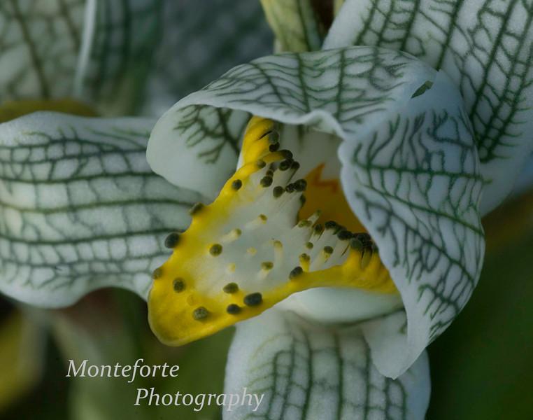 Glacial Orchid, La Confluencia, Patagonia Chile.