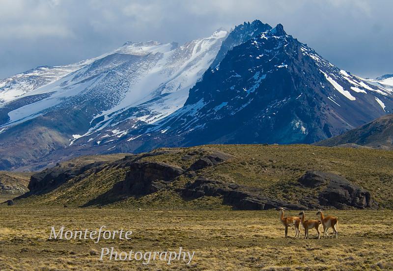 Guanaco, Lama guanicoe Estancia Valle Chacabuco, Chile