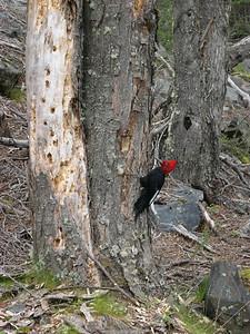 Wood pecker having lunch