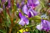 Patagonian Pea (Sweetpea)