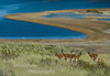 Guanaco, Lama guanicoe, Etancia Valle Chacabuco, Patagonia Chile