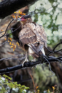 Watchful Caracara