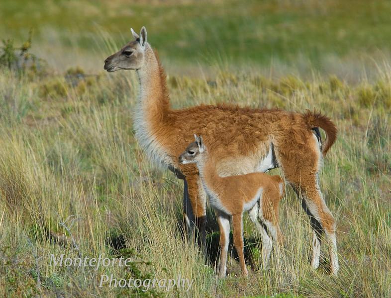 Guanaco, Lama guanicoe with baby.