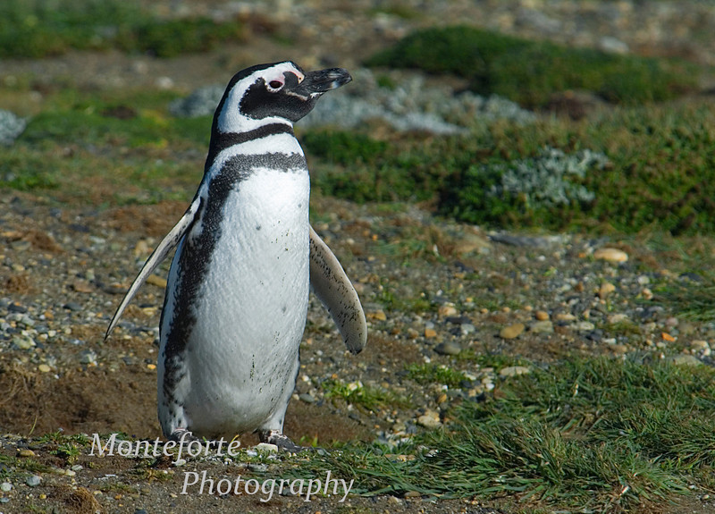 Magellanic Penguin on the coast of Southern Chile near the town of Porta Natales