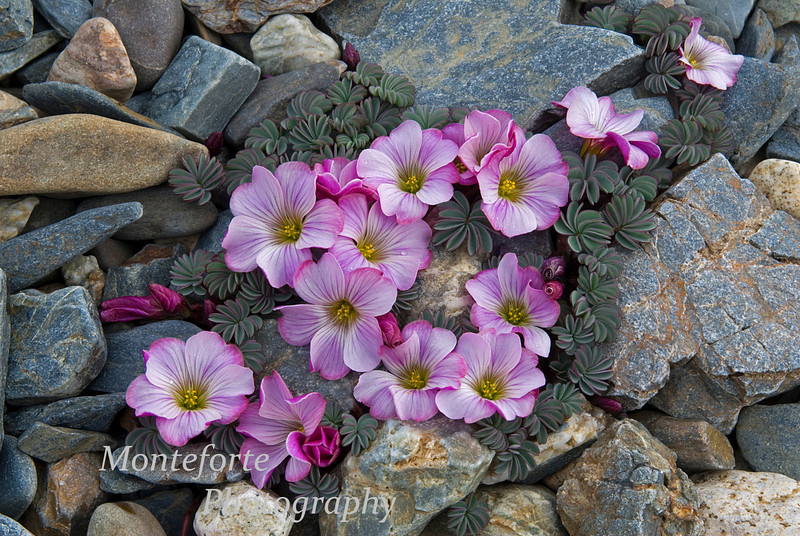 Wildflowers in glacial moraine in Perito Moreno National Park, Argentina
