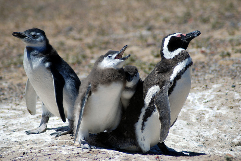 Pinguino familia. Punta Tombo, Argentina.