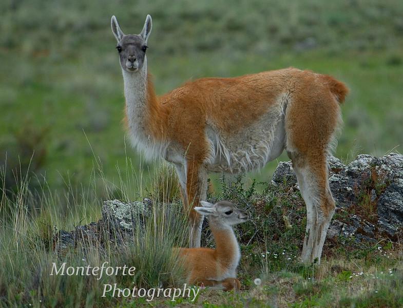 Guanaco, Lama guanicoe with new born Estancia Chacabuco, Chile