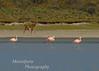 Guanaco, Lama guanicoe walking on edge of lake with Flamingos, Phoenicopterus chilensis, Estancia Valle Chacabuco, Chile
