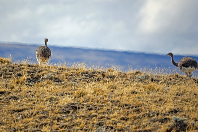Choique on the Move (Lesser Rhea)