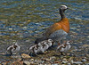 Female South American Goose with Chicks, Lago Bertrand, Chile