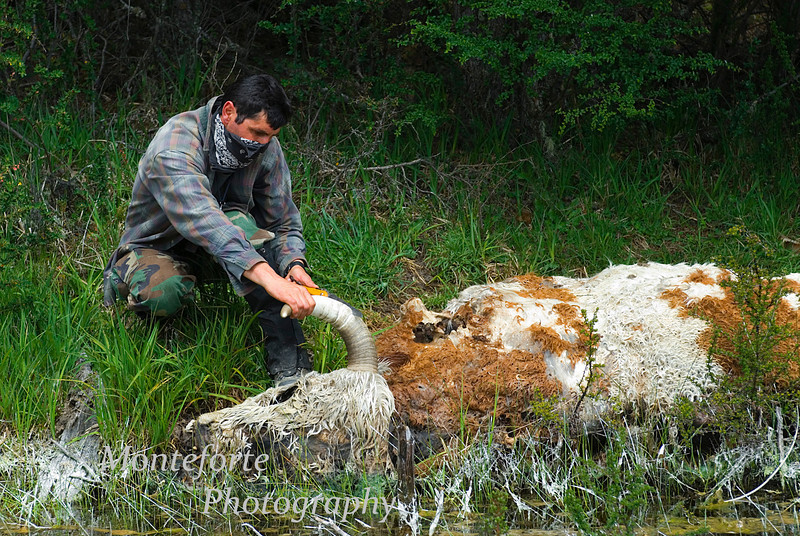 Pasquale cutting horn off of dead cow to make Mate Bambia, Aysen Glacier Trail, Patagonia Chile