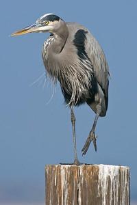 Great Blue Heron, Puddingstone Reservoir, San Dimas, CA.
